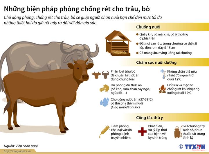 Những biện pháp phòng chống rét cho trâu, bò