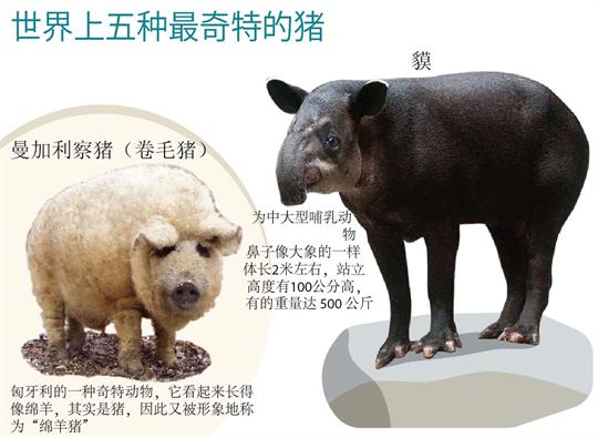 世界上五种最奇特的猪